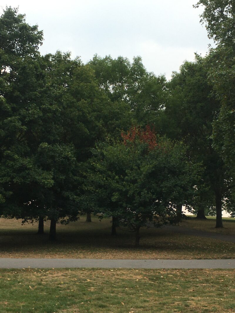 Trees in Brockwell park, leaves slowly turning.