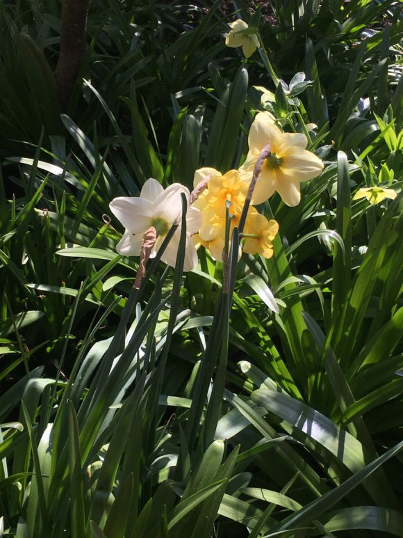 Daffs in my garden, right before a cold spell.